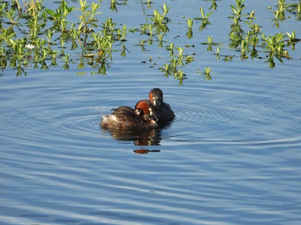 Tachybaptus ruficollis poggei  family swimming in  Artificial lake of sugar factory. thumbnail