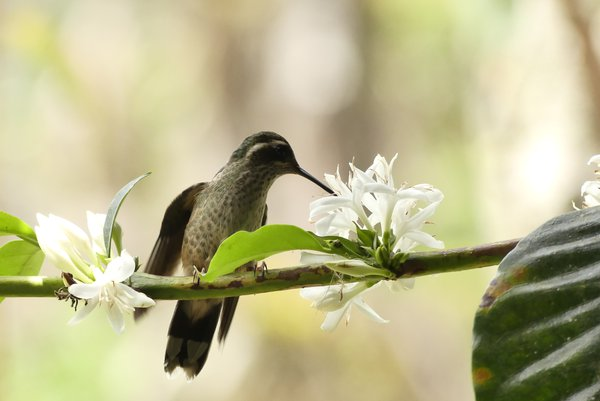 Hummingbird nectaring on a coffee flower thumbnail