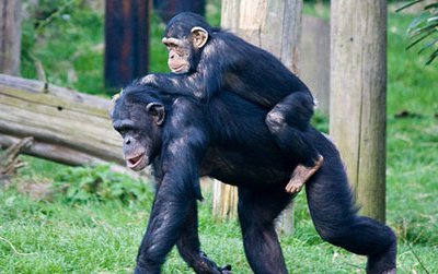 Although chimpanzees usually walk on all fours, sometimes they walk on two legs. New research suggests chimps walk bipedally to carry valuable resources, which might explain why bipedalism evolved in hominids.