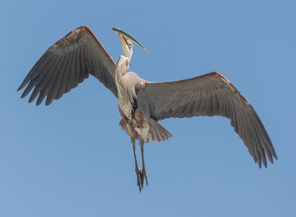 Great Blue Heron w/ fish thumbnail