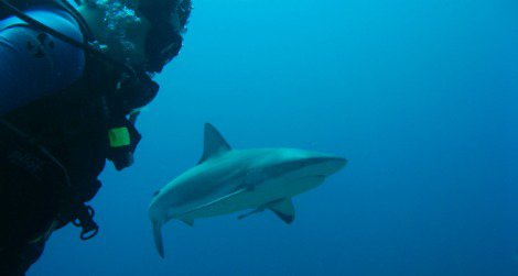 Scuba diving with sharks is an increasingly popular tourist activity in Australia and South Africa.