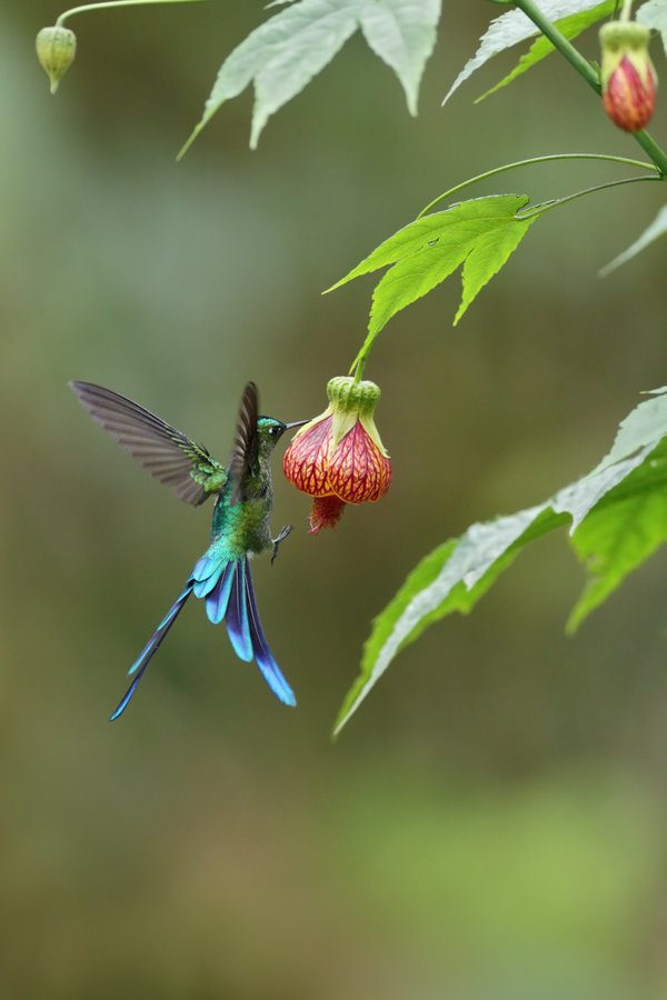 Long-tailed Sylph Hummingbird feeding on nectar from hibiscus relative thumbnail