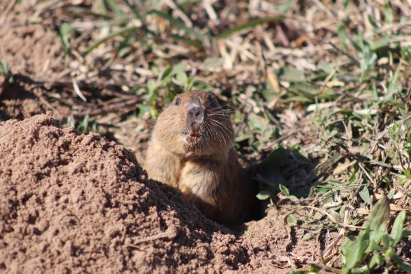 The rodent and its burrow thumbnail