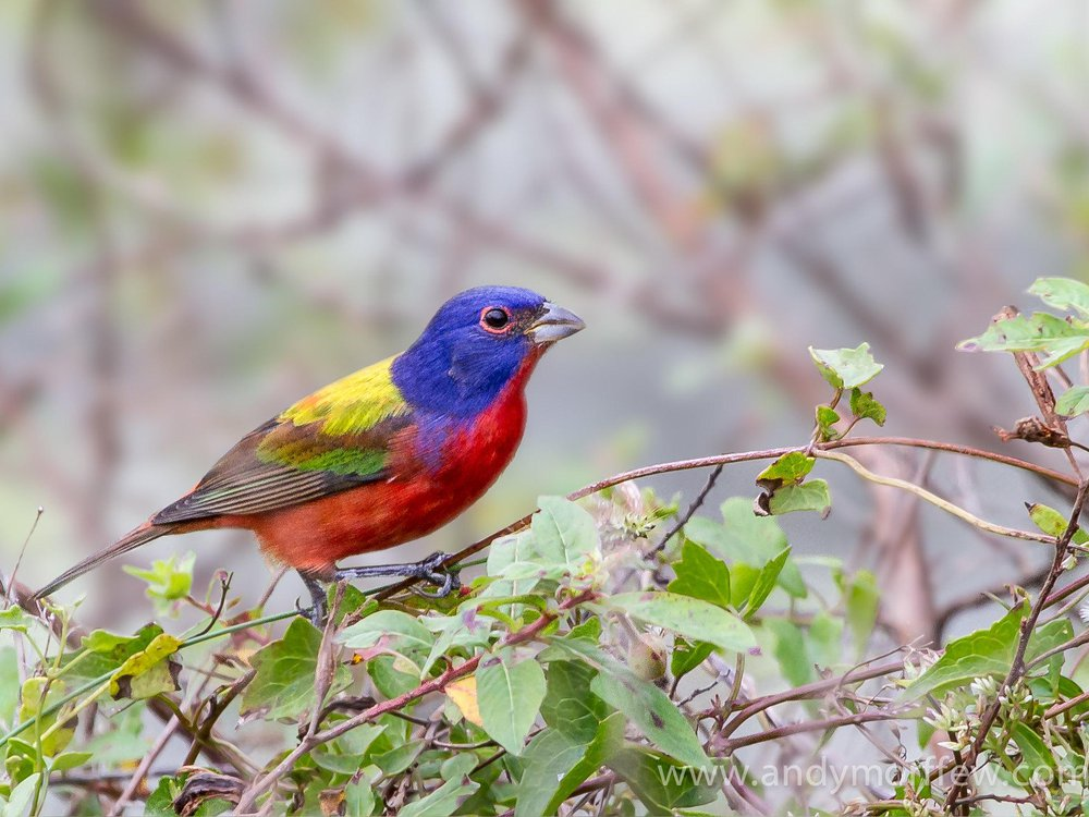 A painted bunting perched on a shrub. It has a red belly, bright blue head, yellow at the top of its back and green along its wings.