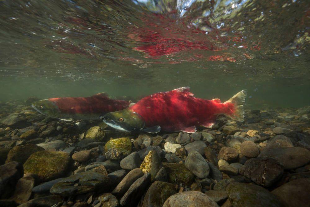 Two sockeye salmon in shallow water above rocks.
