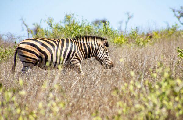 A zebra grazing in a field thumbnail