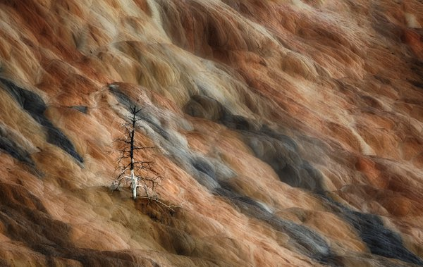 A dead tree on a hot spring in Yellowstone thumbnail