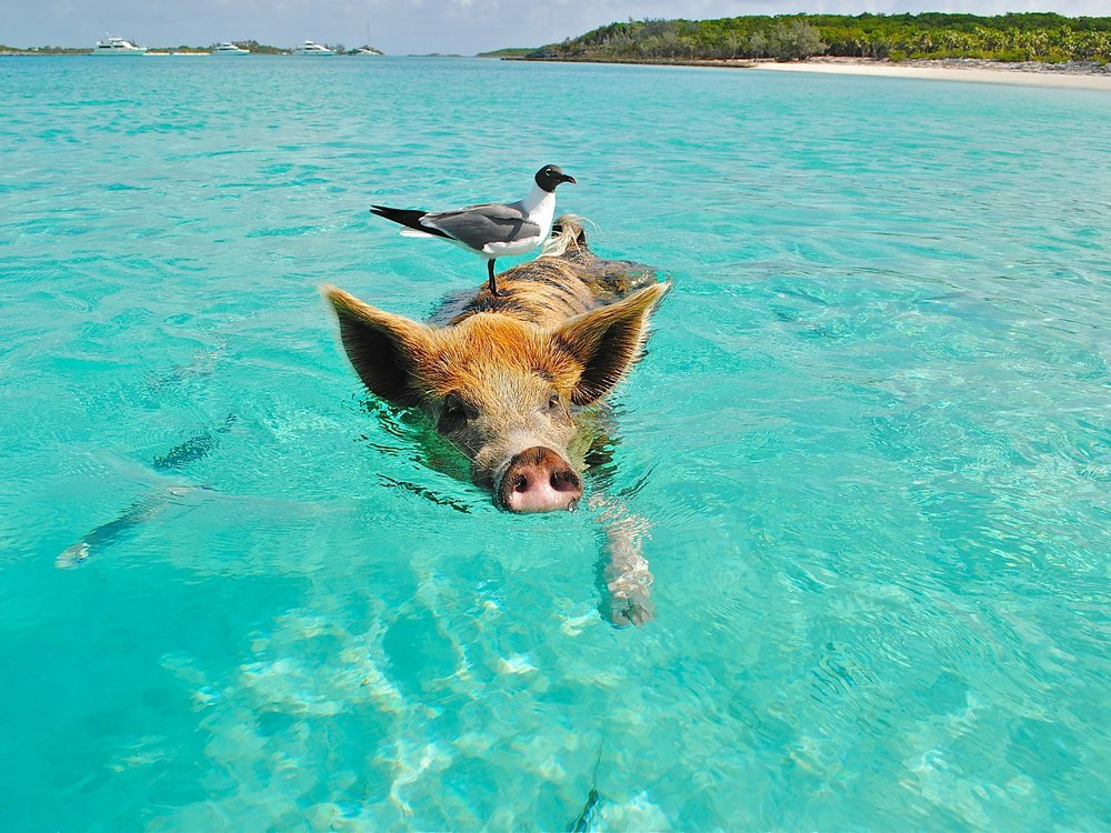 a pig swimming in the bahamas with a seagull on its head