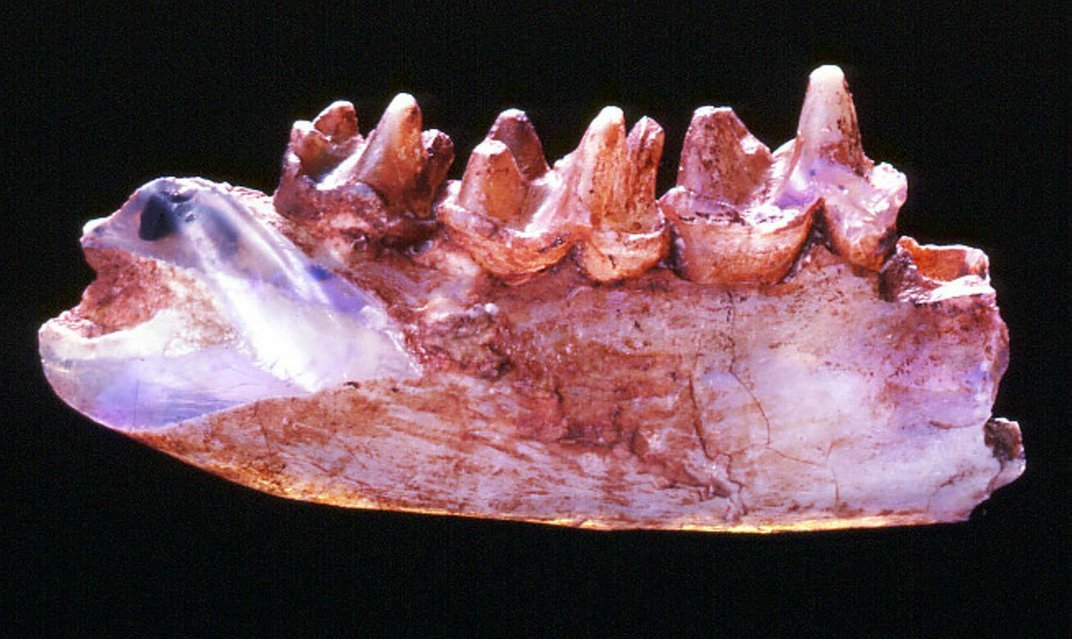 Scientists and Miners Team Up to Preserve Opalized Fossils