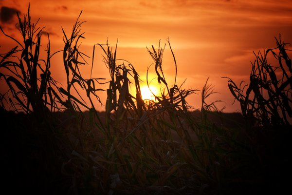 Iowa Corn at Sunset thumbnail