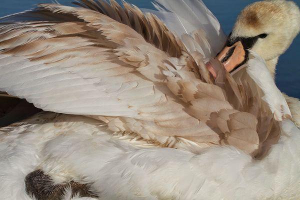Young Swan Preening thumbnail
