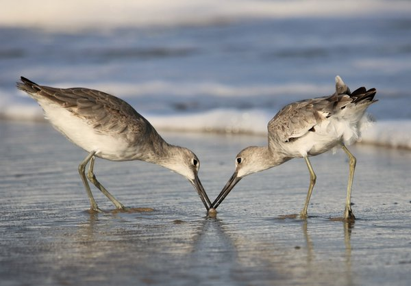 Willet Duel Two thumbnail