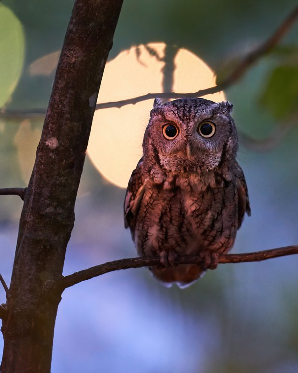 Eastern screech owl at night thumbnail