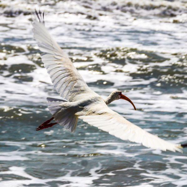 White Ibis at the Ocean thumbnail