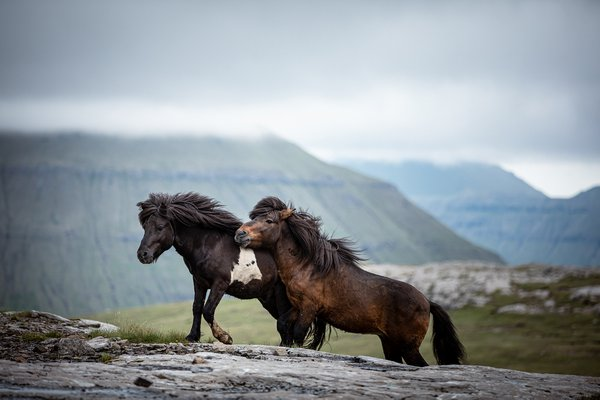 Faroese horses in the mountains thumbnail