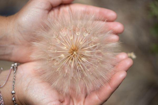 Giant Dandelion thumbnail