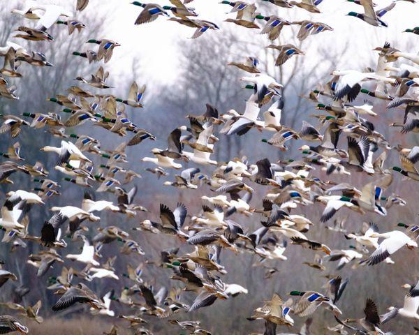 Flight of Waterfowl thumbnail