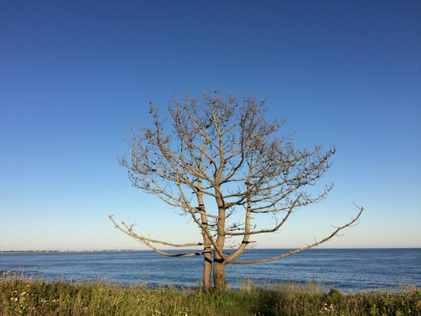 Lone tree at Sachuest Wildlife Reserve in Rhode Island  thumbnail