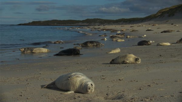 Preview thumbnail for The Grey Seal Pupping Season in Scotland Is Spectacular