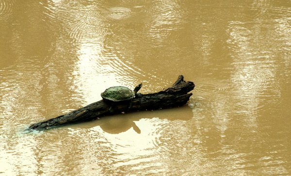 A TORTOISE TAKING SHELTER ON A LOG OF WOOD. thumbnail