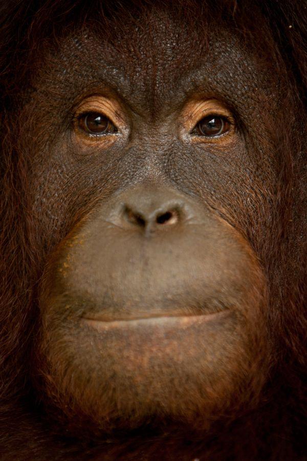 Bornean Orangutan thumbnail
