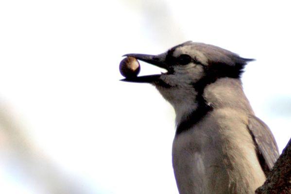 Blue Jay with Acorn thumbnail