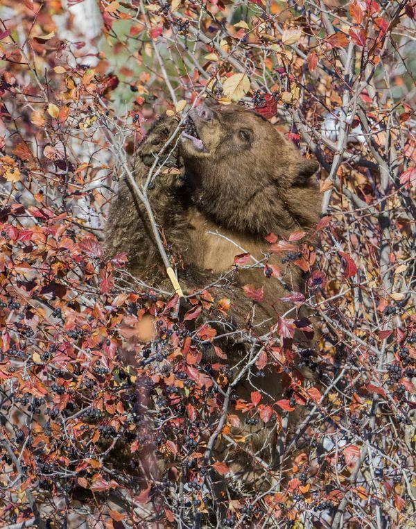 Bear Feasting on Hawthorn Berries thumbnail