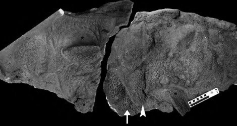 ankylosaur Tarchia
