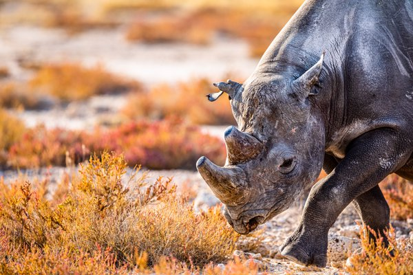 Black rhino with tattered ear thumbnail