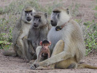 During more peaceful times, two female baboons sit next to a collared male baboon holding an infant.