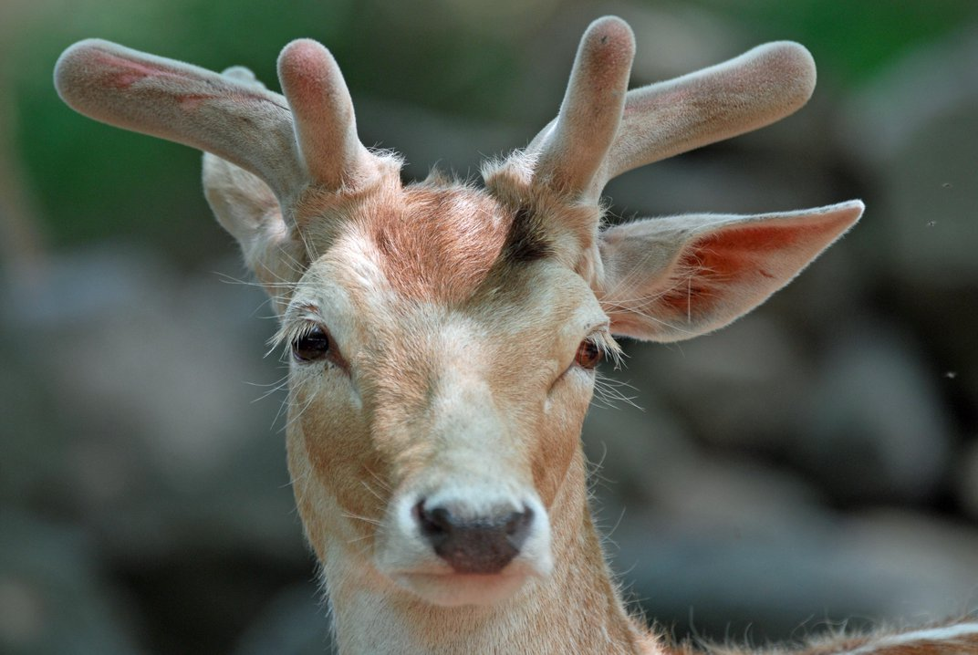 Antlers Are Miraculous Face Organs That Could Benefit Human Health