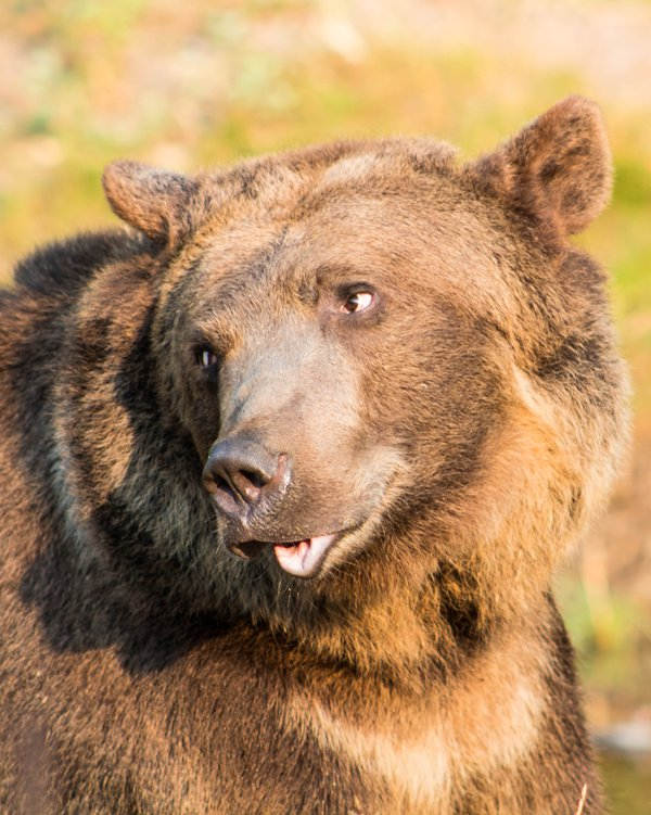 A photo of a captive grizzly bear taken during a photography class. thumbnail