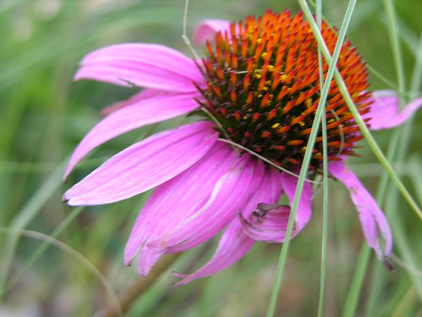 Echinacea - caught in the right light to give it the neon glow, despite the fact that it was beginning to fade thumbnail