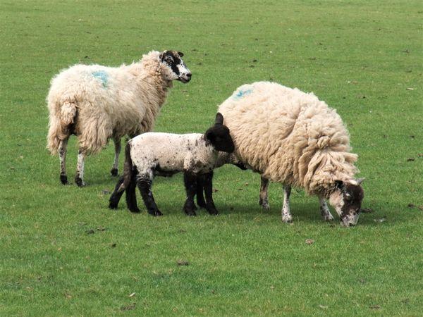 A Sheep Family  thumbnail