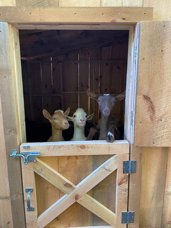 Goat siblings checking out their new barn thumbnail
