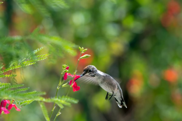 Juvenile Black-Chinned Hummingbird with pollen on its head thumbnail