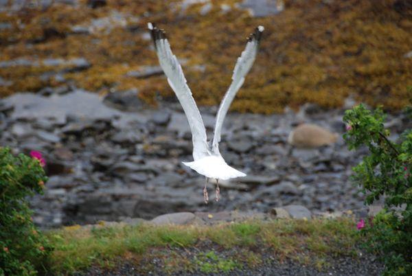 Seagull in flight thumbnail