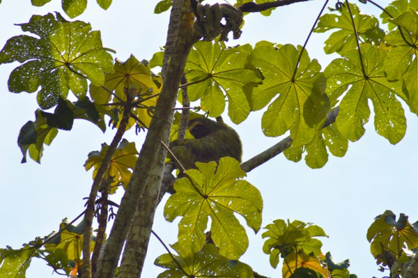 Sloth resting on the tree top thumbnail