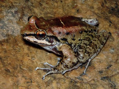A male Thoropa taophora, pictured near Sununga beach in  Brazil.