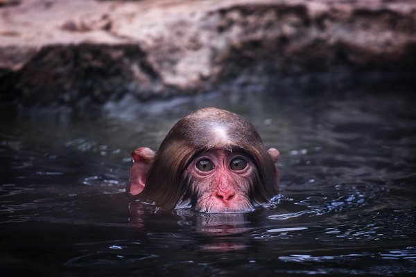 A Swimming Snow Monkey thumbnail