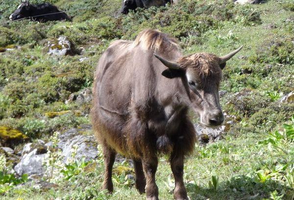 YAK Himalayan Bull thumbnail