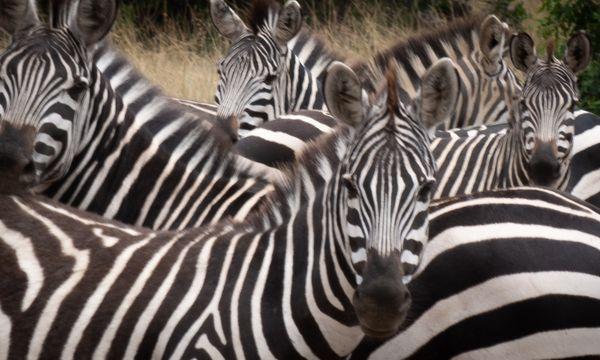 Curious Zebra always seem to question. thumbnail