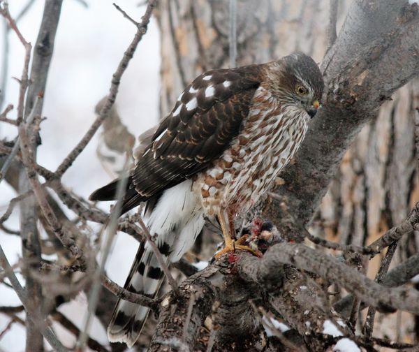 Cooper's Hawk Enjoying a Meal thumbnail
