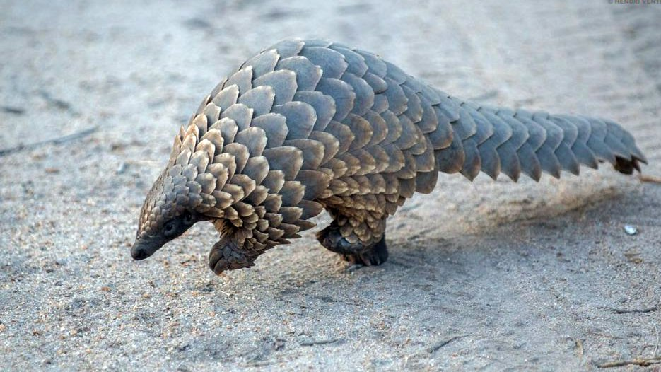 Cowboy Boots Purchased in the U.S. Played Part in Pangolins' Decline