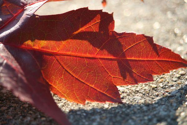 Sunlight illuminates the veins on a fallen leaf. thumbnail
