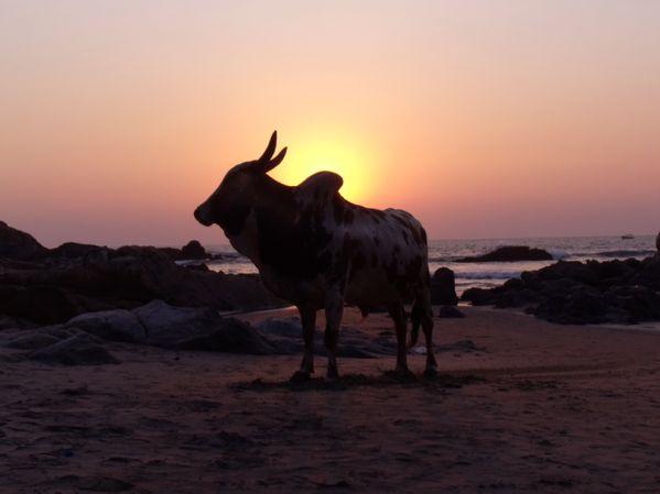 Bull on the Beach thumbnail