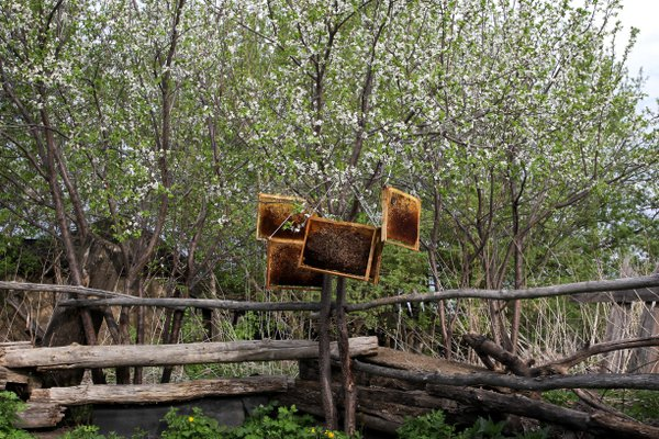 Honey and plum tree. thumbnail