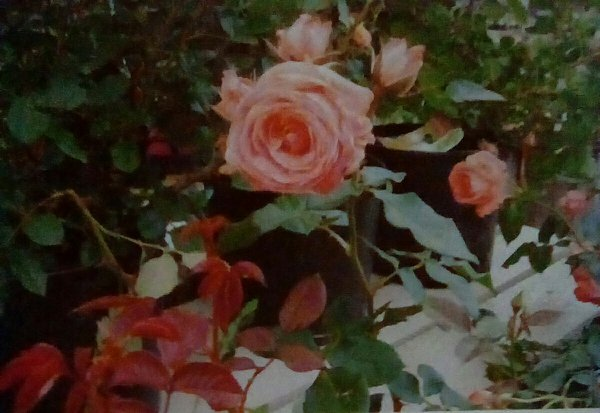 A Rose at Sprig's Nursery thumbnail