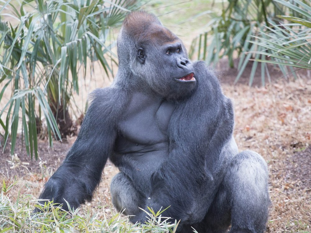 Western lowland gorilla Baraka forages in the outdoor gorilla habitat at the Smithsonian's National Zoo. The silverback takes mealtime seriously, say his keepers.