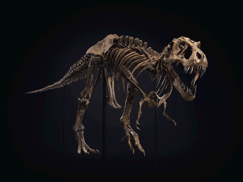 A brown T rex skeleton, posed with mouth open as though it's roaring and poised to attack, pictured against a black background